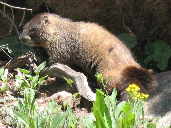 Yellow-bellied marmot (Rocky Mountain NP, Colorado)