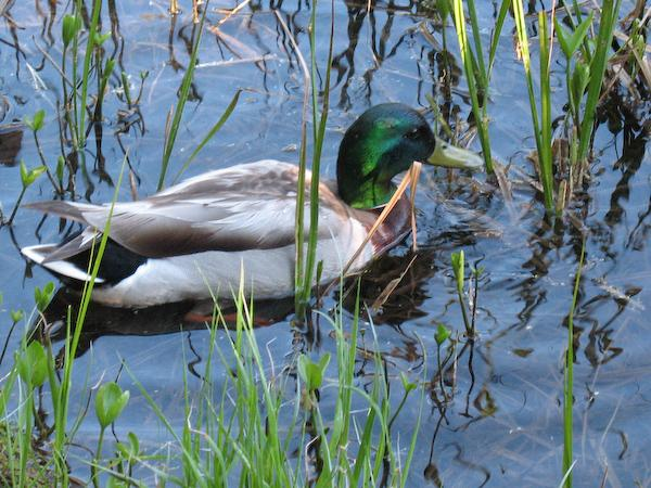 Mallard (Rocky Mountain NP, Colorado)