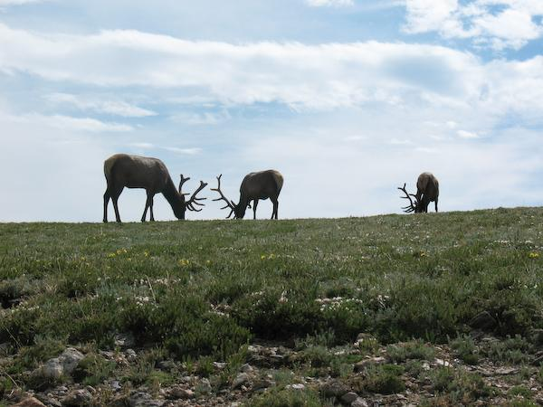 Arty elks (Rocky Mountain NP, Colorado)