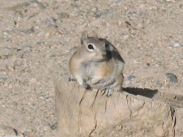 Chipmunk (Rocky Mountain NP, Colorado)
