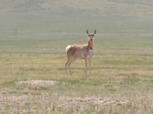 Pronghorn antelope (Natrona County, Wyoming)