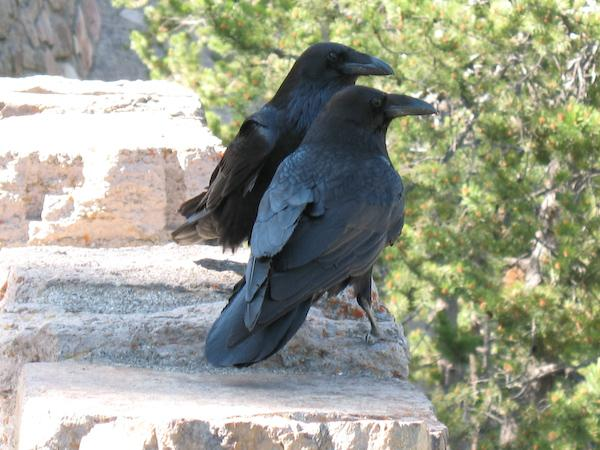 Ravens (Yellowstone NP, Wyoming)