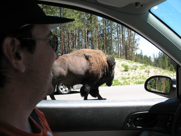 Bison (Yellowstone NP, Wyoming)