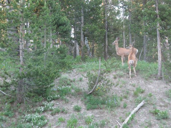 Deer (Yellowstone NP, Wyoming)