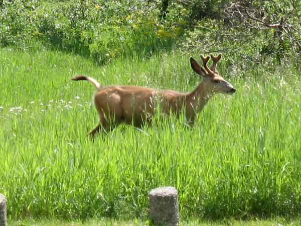 Deer (Waterton Lakes NP, Alberta)