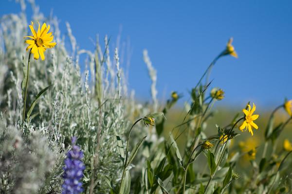Early summer flowers (Yellowstone NP, Wyoming)