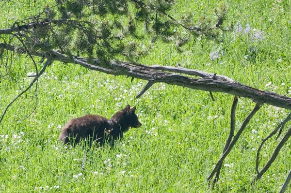Black bear (Yellowstone NP, Wyoming)