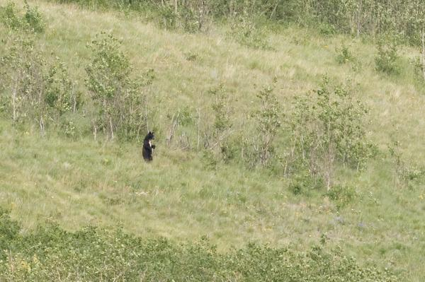 Black bear (Waterton Lakes NP, Alberta)
