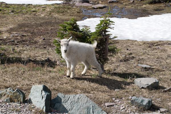 On our fifth hike, the baby mountain goat (Glacier NP, Montana)