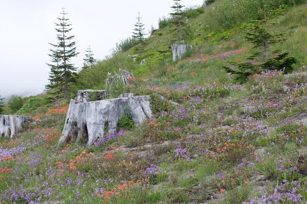 Mid-summer wildflowers (Mount Saint Helens NVM, Washington)